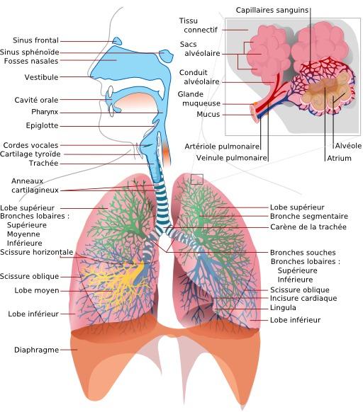 Schéma du système respiratoire