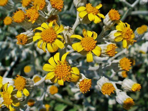 Séneçon cinéraire en fleurs