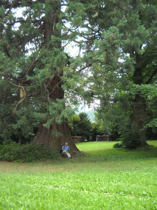 Séquoia d'Ottrott
