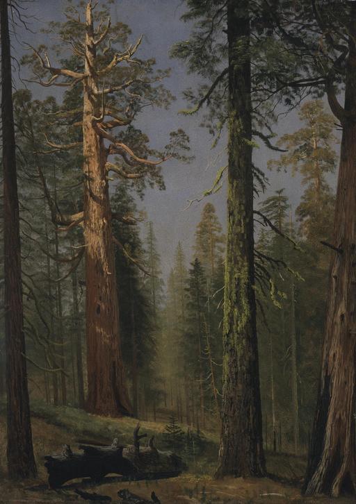 Séquoia géant en Californie
