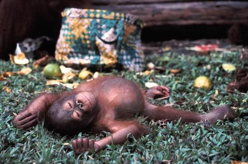 Sieste de petit orang-outan