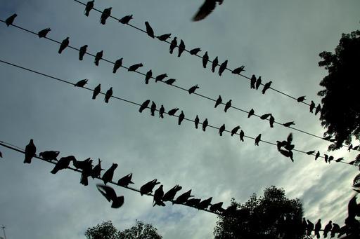 Silhouettes de pigeons sur les fils électriques