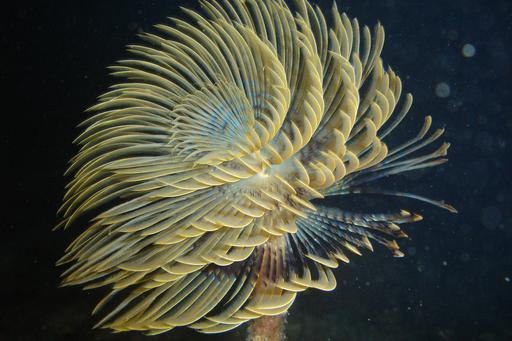 Spirographe marin en Méditerranée