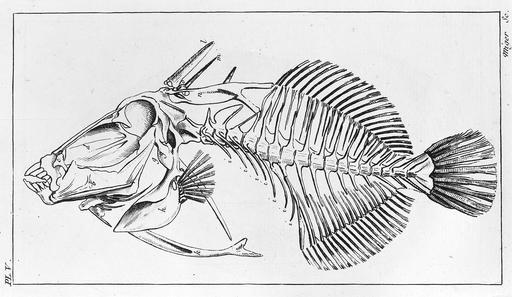 Squelette de baliste