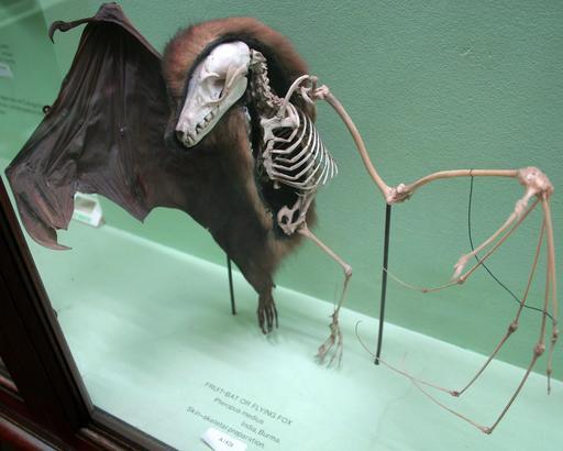 Squelette de chauve-souris