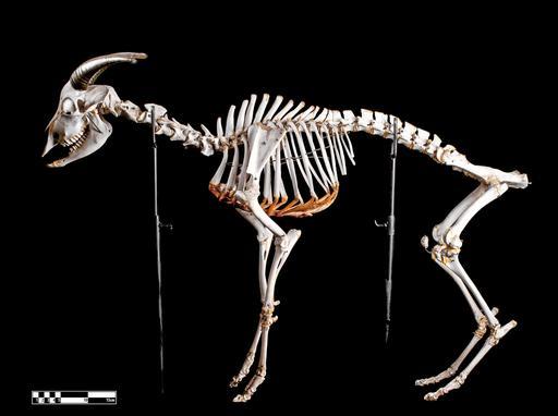 Squelette de chèvre