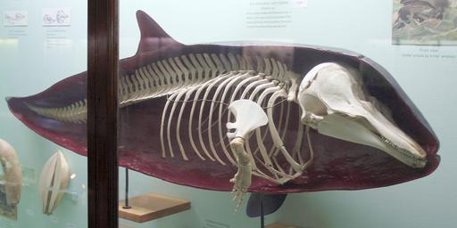 Squelette de dauphin