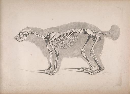 Squelette de glouton