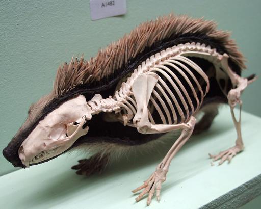 Squelette de hérisson
