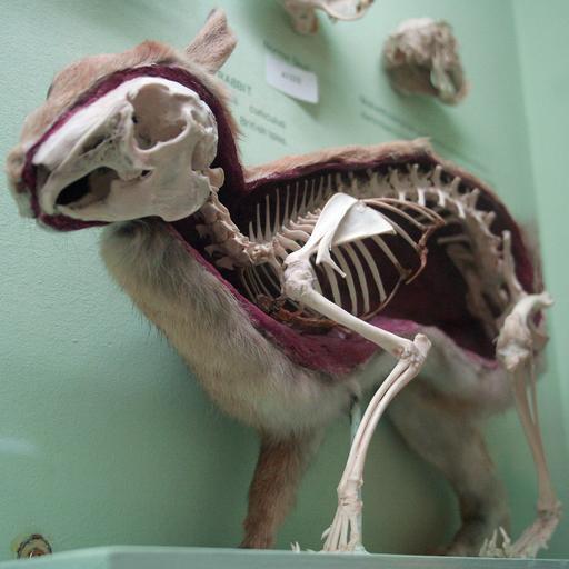 Squelette de lapin