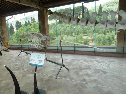 Squelette de narval