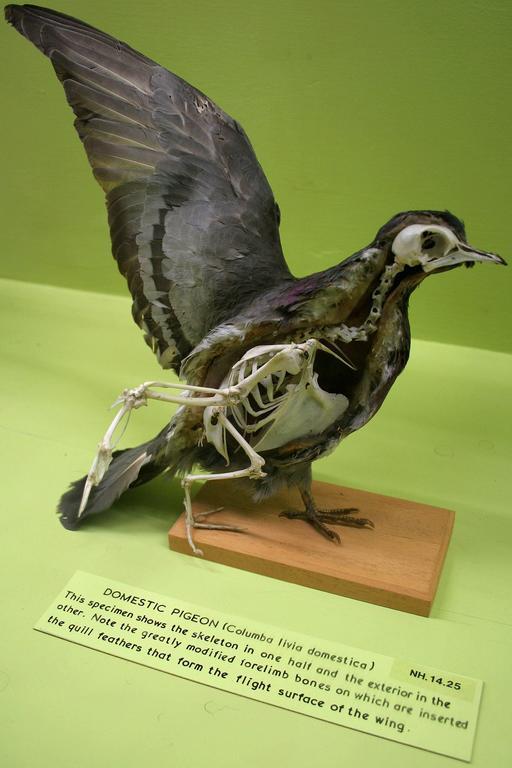 Squelette de pigeon