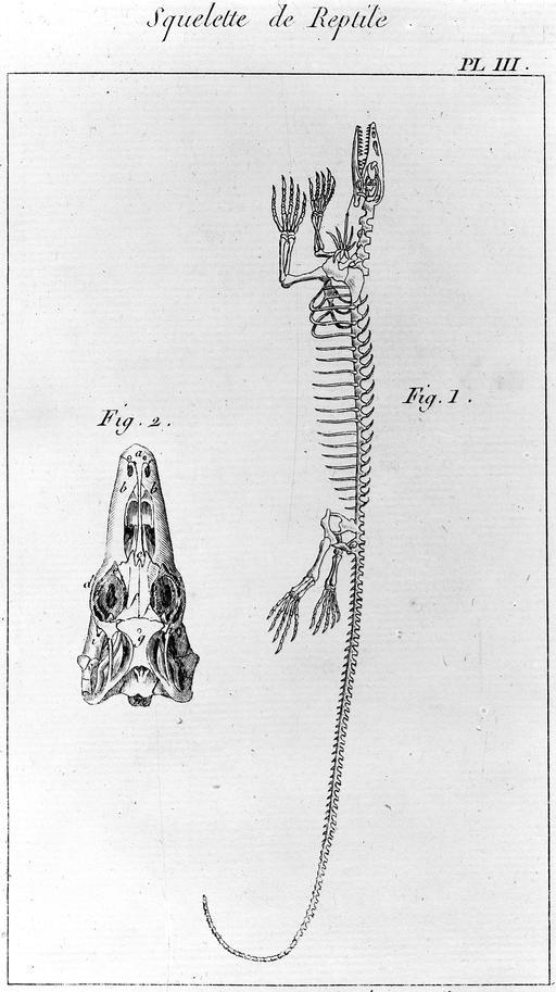 Squelette de reptile