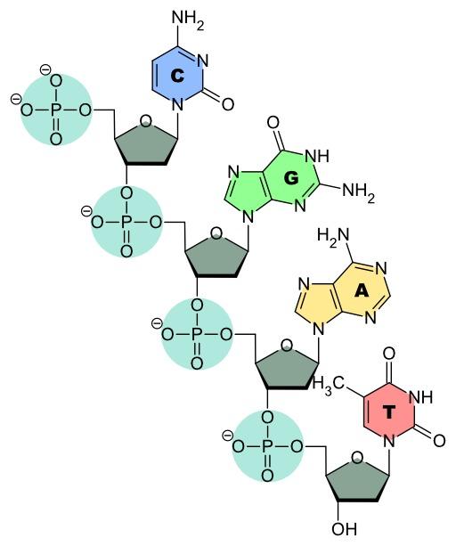 Structure d'un brin d'ADN