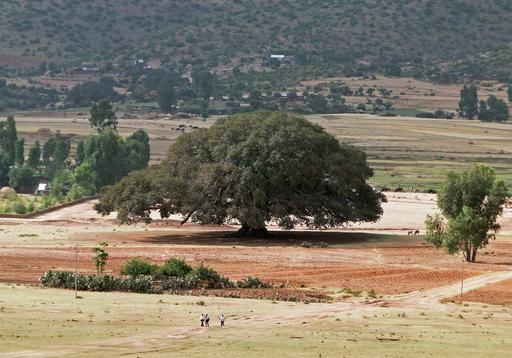 Sycomore en Ethiopie