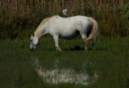 Symbiose entre cheval et héron garde-boeufs