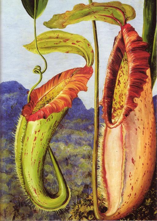 Tableau de Népenthes