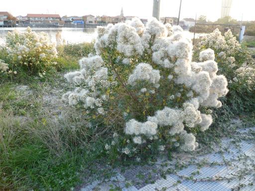 Tamaris en fleurs sur les bords du bassin d'Arcachon