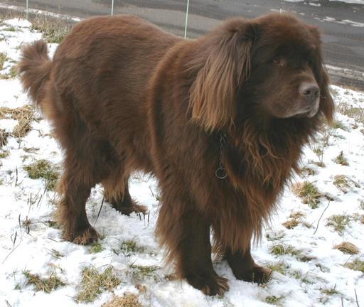 Terre-neuve brun en hiver