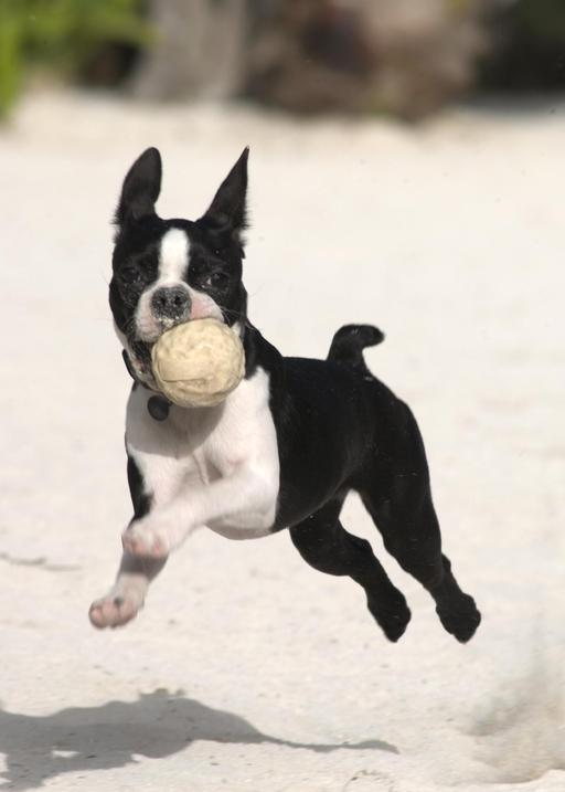 Terrier de Boston jouant à la balle