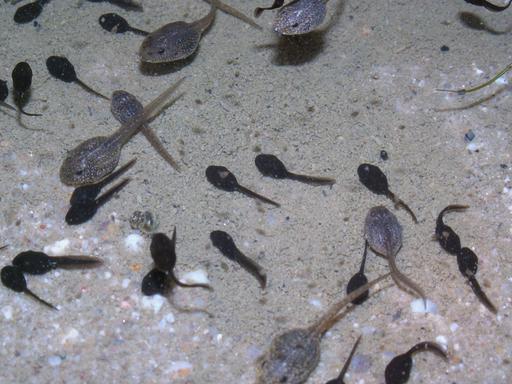 Têtards de grenouilles et de crapauds