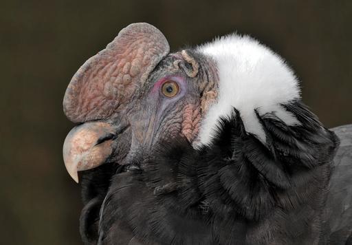 Tête de condor des Andes
