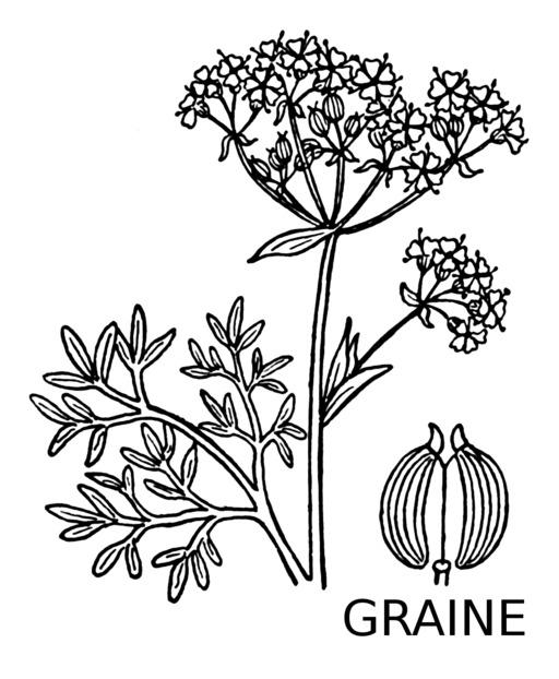 Tige, fleur et graine d'anis vert
