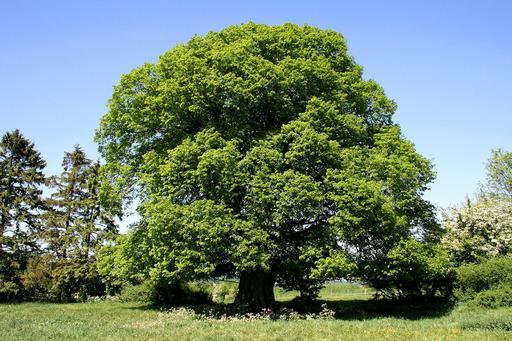 Tilleul à grandes feuilles en Belgique