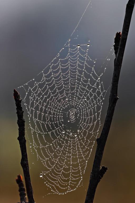 Toile d'araignée entre deux branches dans la rosée