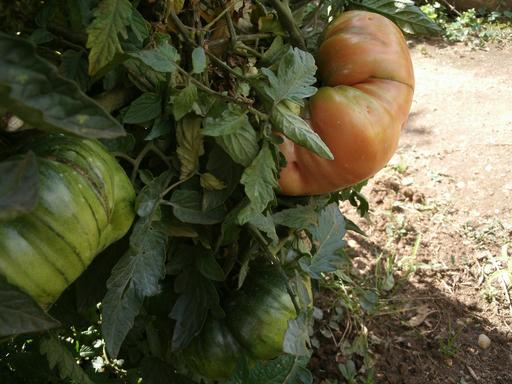 Tomates de jardin - 02