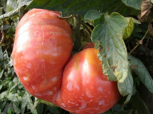 Tomates de jardin mûres