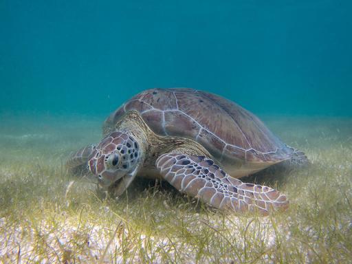 Tortue verte broutant un herbier marin