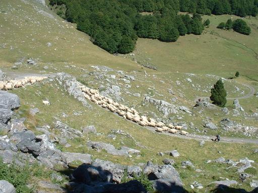 Transhumance d'un troupeau de moutons