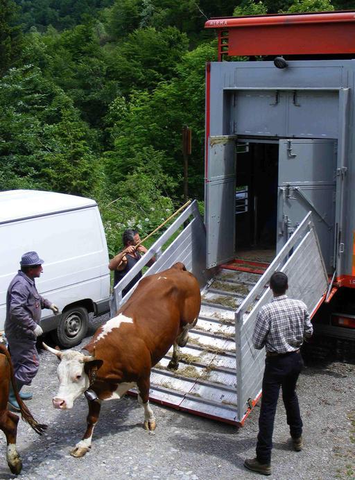 Transhumance du bétail des cols alpins
