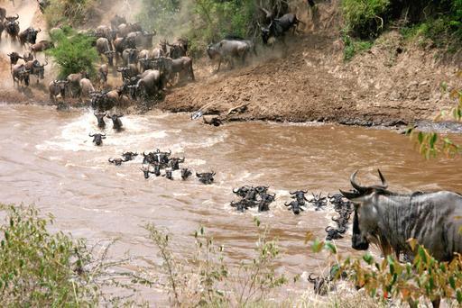 Traversée de rivière par un troupeau de gnous bleus