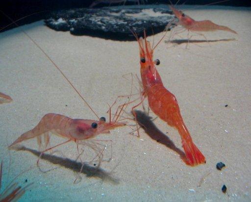 Trois crevettes