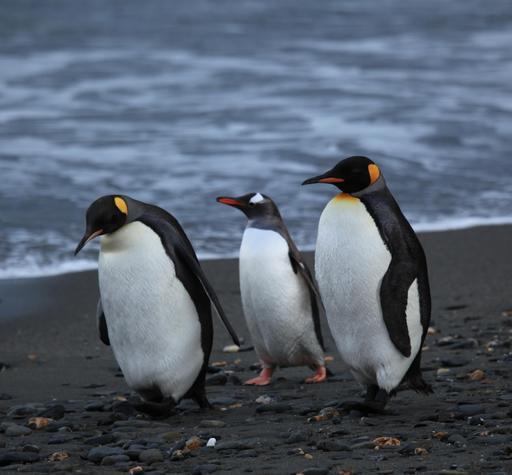 Trois manchots sur la plage