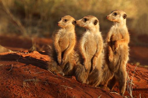 Trois suricates en Afrique du Sud