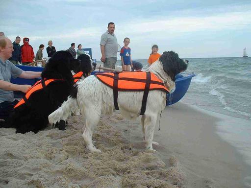 Trois chiens terre-neuve chargés de sauvetage en mer