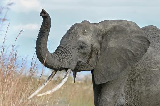 Trompe dressée d'éléphante