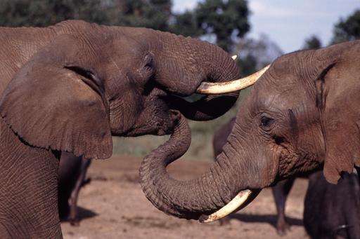 Trompes et défenses d'éléphants