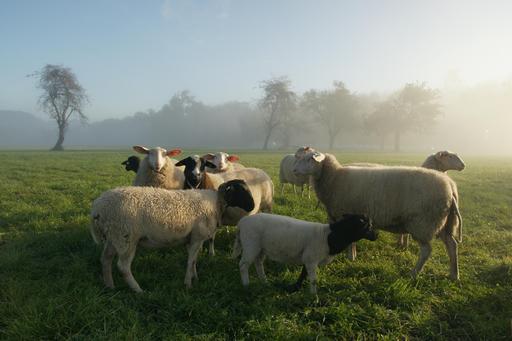 Troupeau de brebis et de moutons