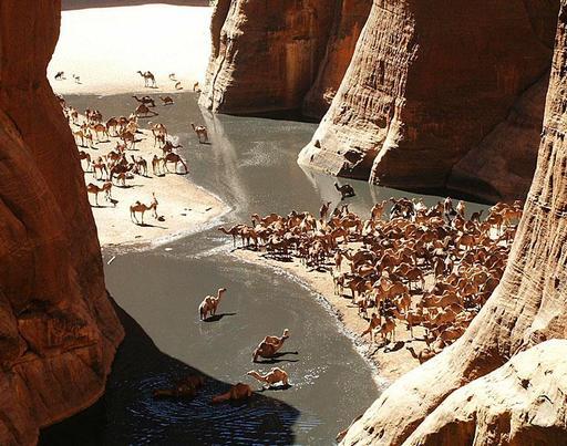 Troupeau de dromadaires dans le Sahara