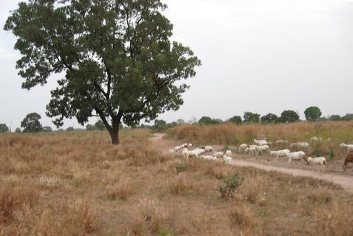 Troupeau de moutons près de Kounkané