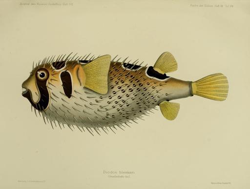 Un diodon ou poisson hérisson