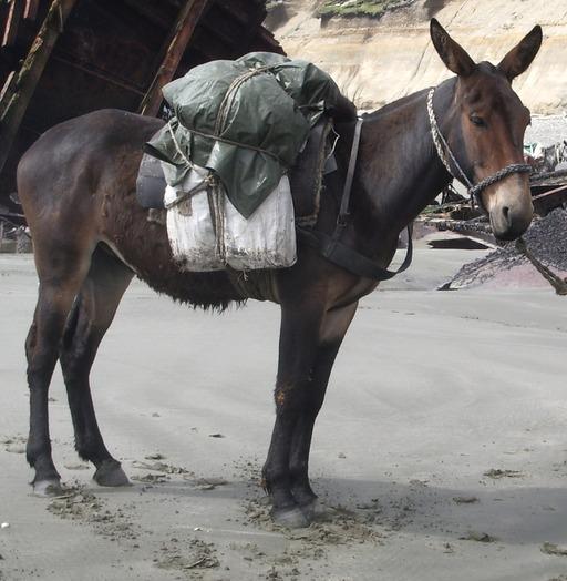 Un mulet