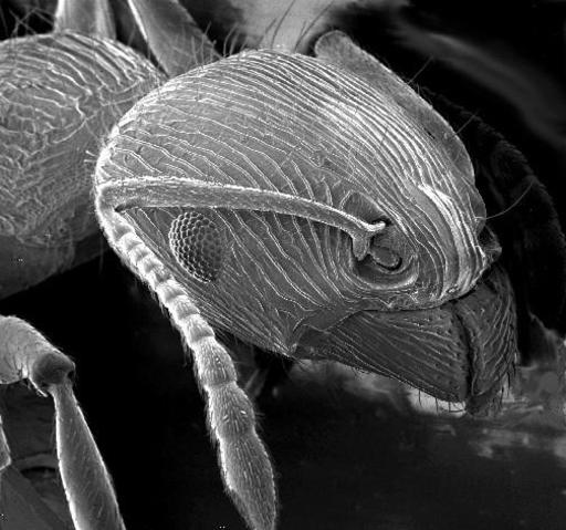 Une fourmi au microscope électronique