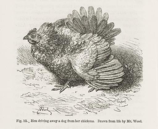 Une poule en colère