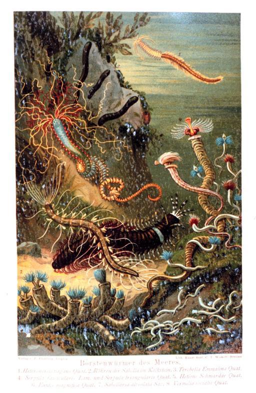 Les polychètes sont des vers annélides comportant plus de 10 000 espèces. Ce sont des animaux marins ou estuariens. Ils sont divisés en deux groupes : les Sédentaires (fixés au substrat) et les Errants, prédateurs munis de mâchoires ou de dents.
