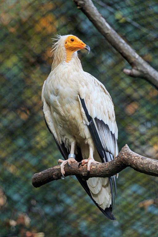 Vautour au zoo de Prague